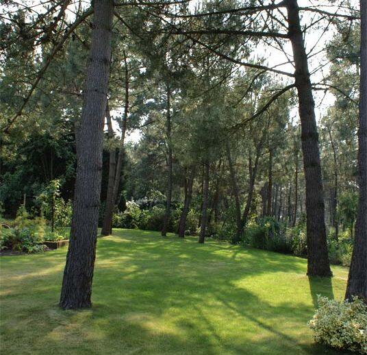 espace de gazon sous les pins