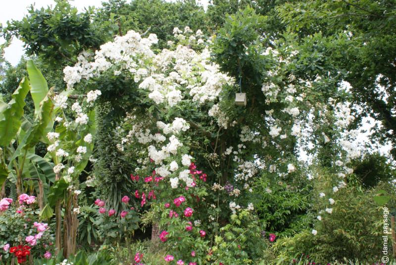rosiers en fleurs dans chene plourivo